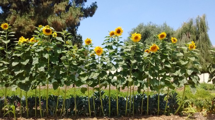 sunflowers at tbi